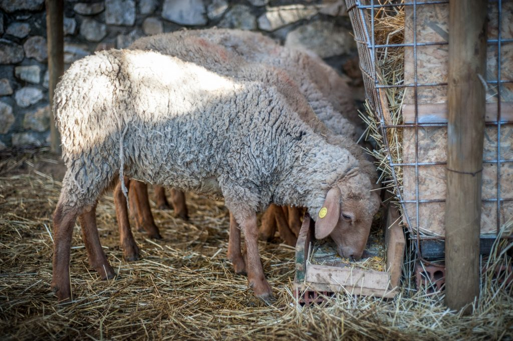 Cascina AlbaTerra - Pecore