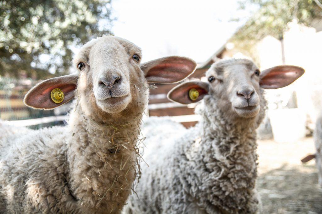 Cascina AlbaTerra - Primo piano Pecore